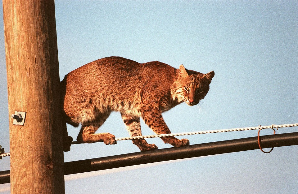 bobcat-931147_960_720.jpg