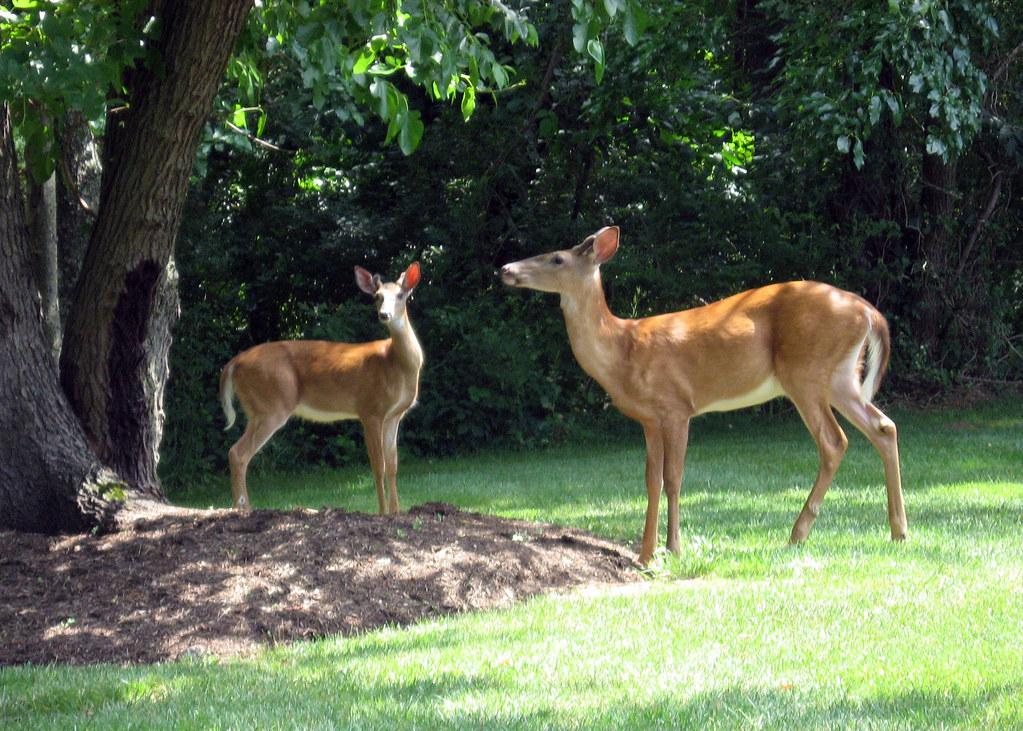 Deer graze in an urban neighborhood (Photo | Ryan Quick)