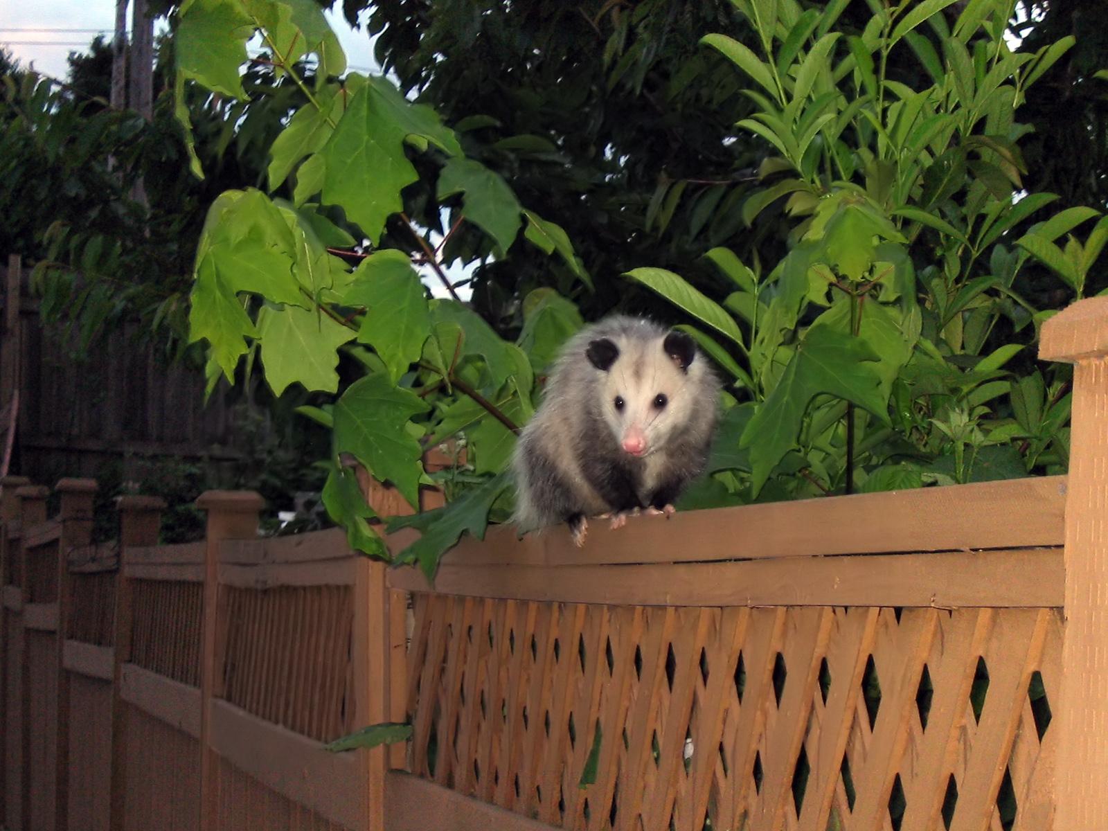 An opossum perches on an urban fence. (Photo |  Wikipedia )