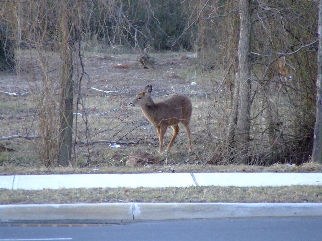 A white-tailed deer saunters along a Staten Island roadway (Photo |  kerfuffle & zeitgeist  )