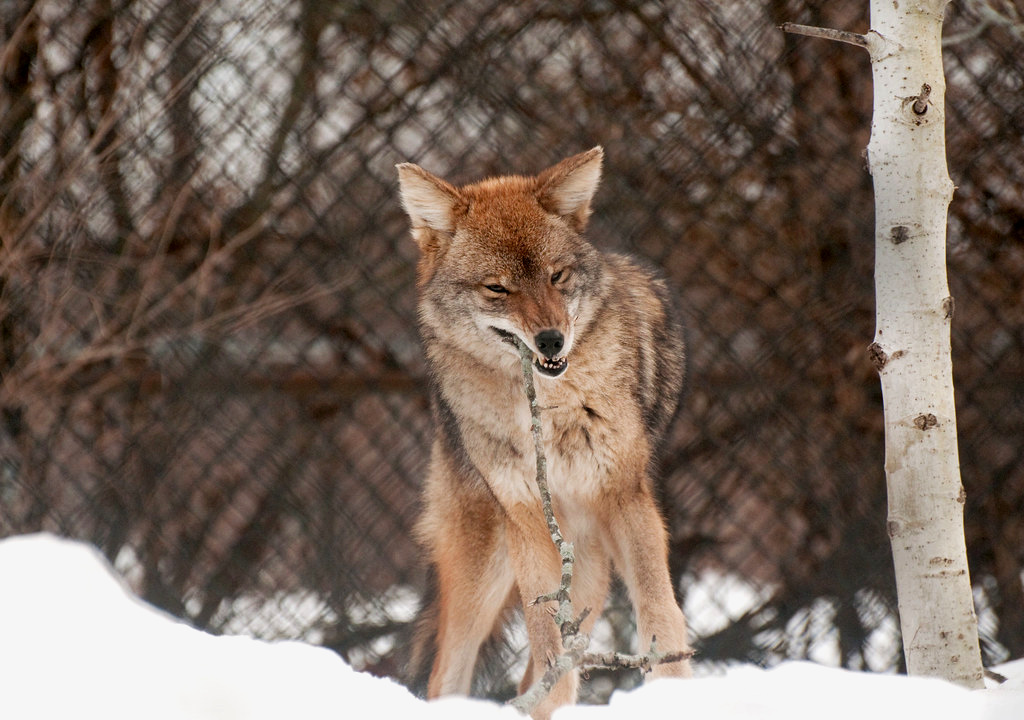 A coyote chews on a stick in Stoneham, Massachusetts (Photo |  Eric Kilby )