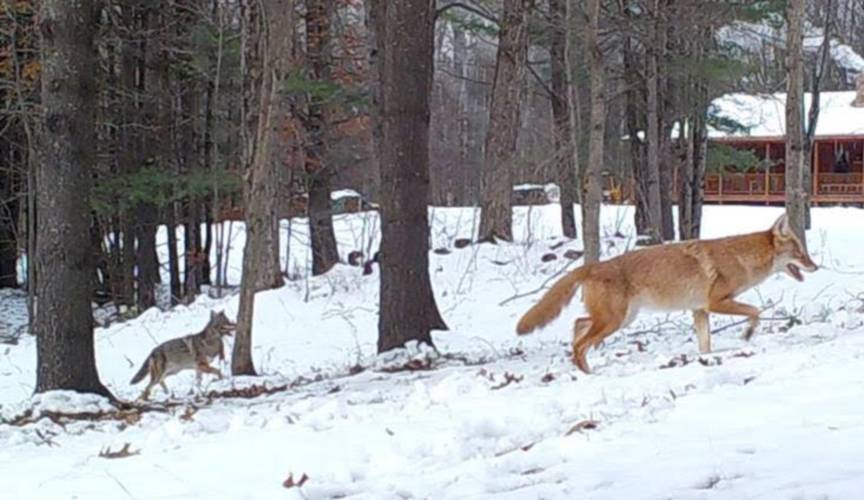 A pair of coyotes trot past a home in Massachusetts. (Photo | George Holmes)