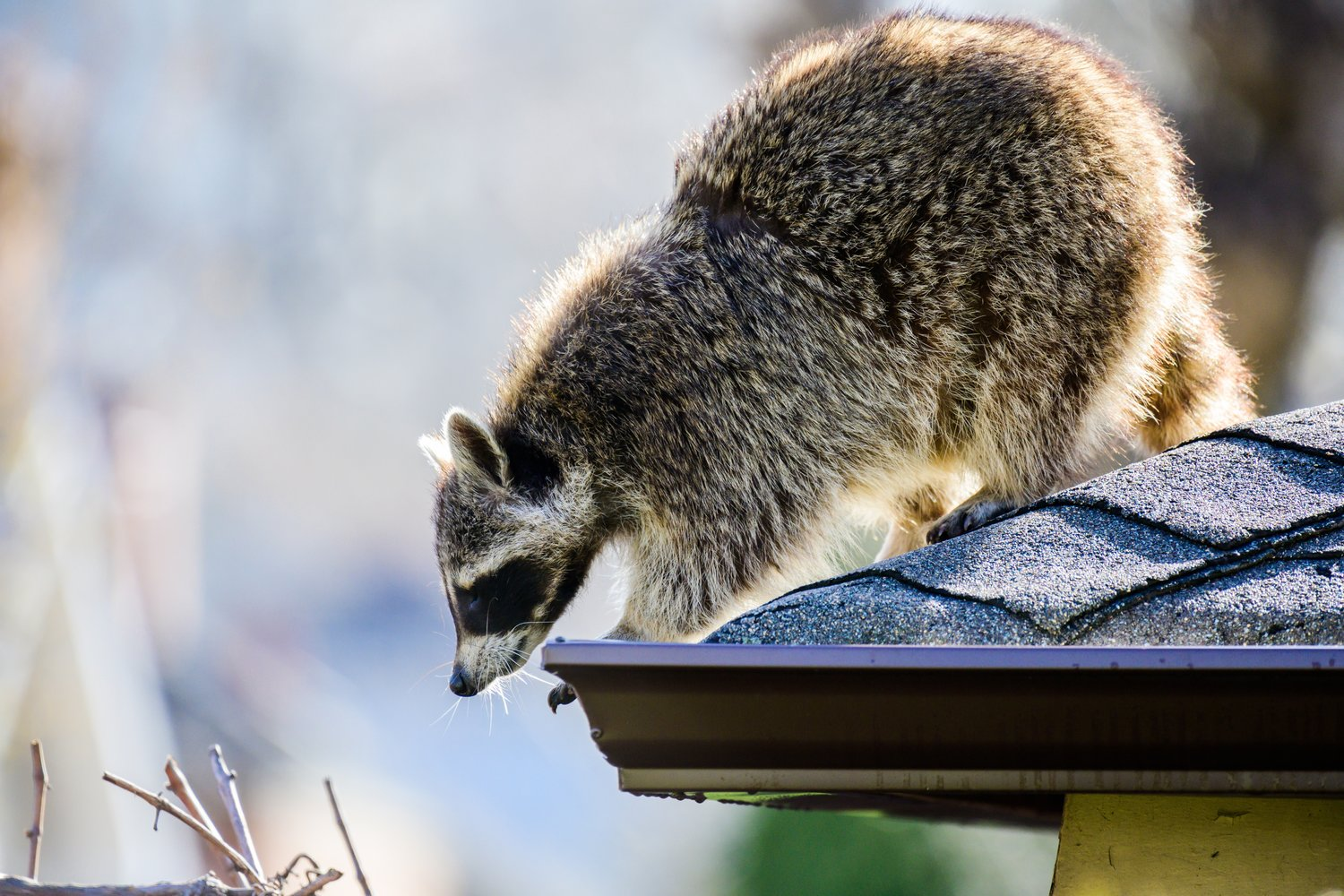 A raccoon on an urban rooftop. (Photo by Adam Muise)