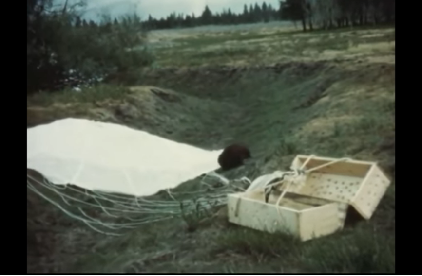 "A beaver emerges from one of the dropped crates in the Idaho wilderness. (Still from ""Fur For The Future"")"