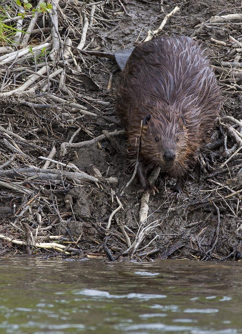 beaver01.jpeg
