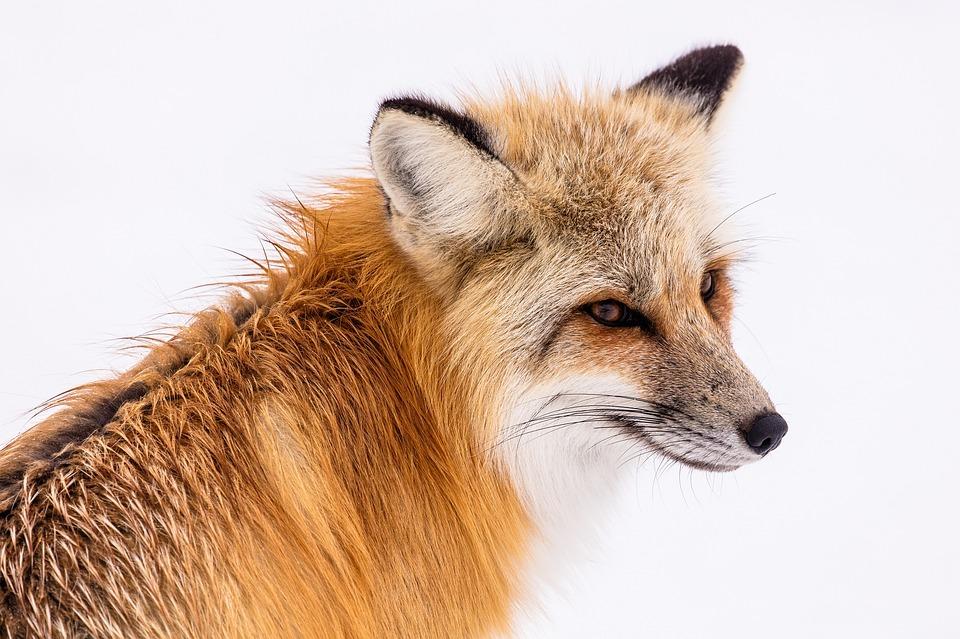 red-fox-2230731_960_720.jpg