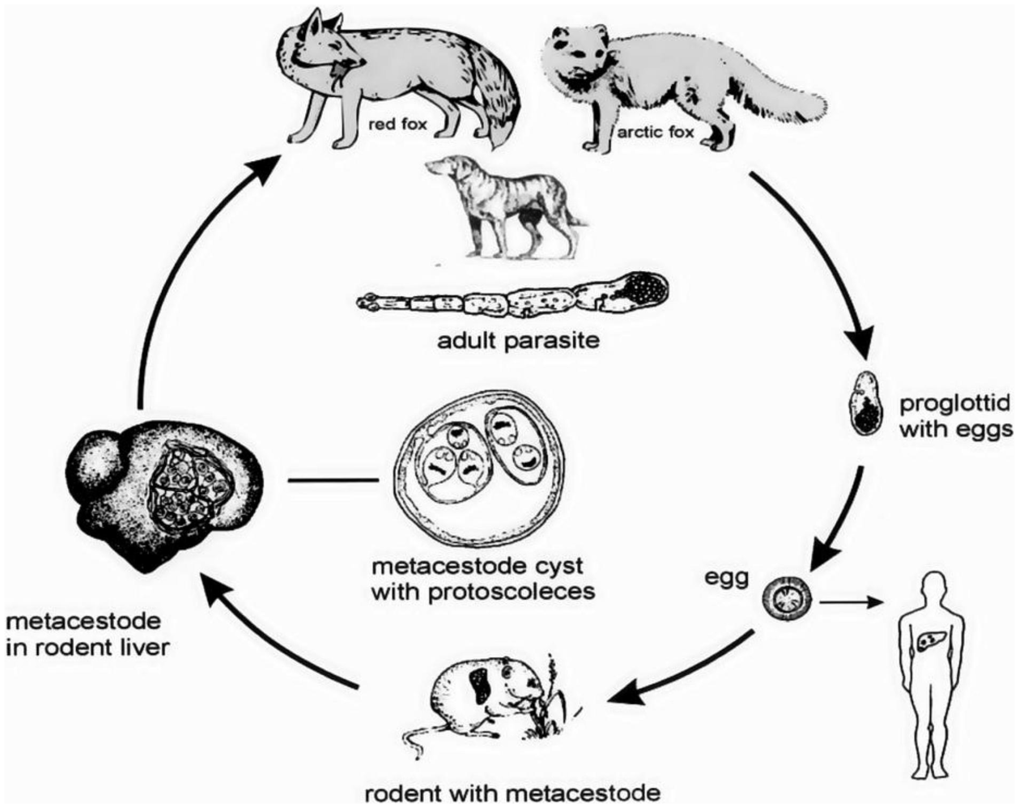 The life cycle of  Echinococcus multilocularis . Red fox and coyote serve as main definitive hosts. Rodents such as small rodents serve as typical intermediate hosts. Man is infected as an aberrant intermediate host. (Photo |  Global Burden of Alveolar Echinococcosis )