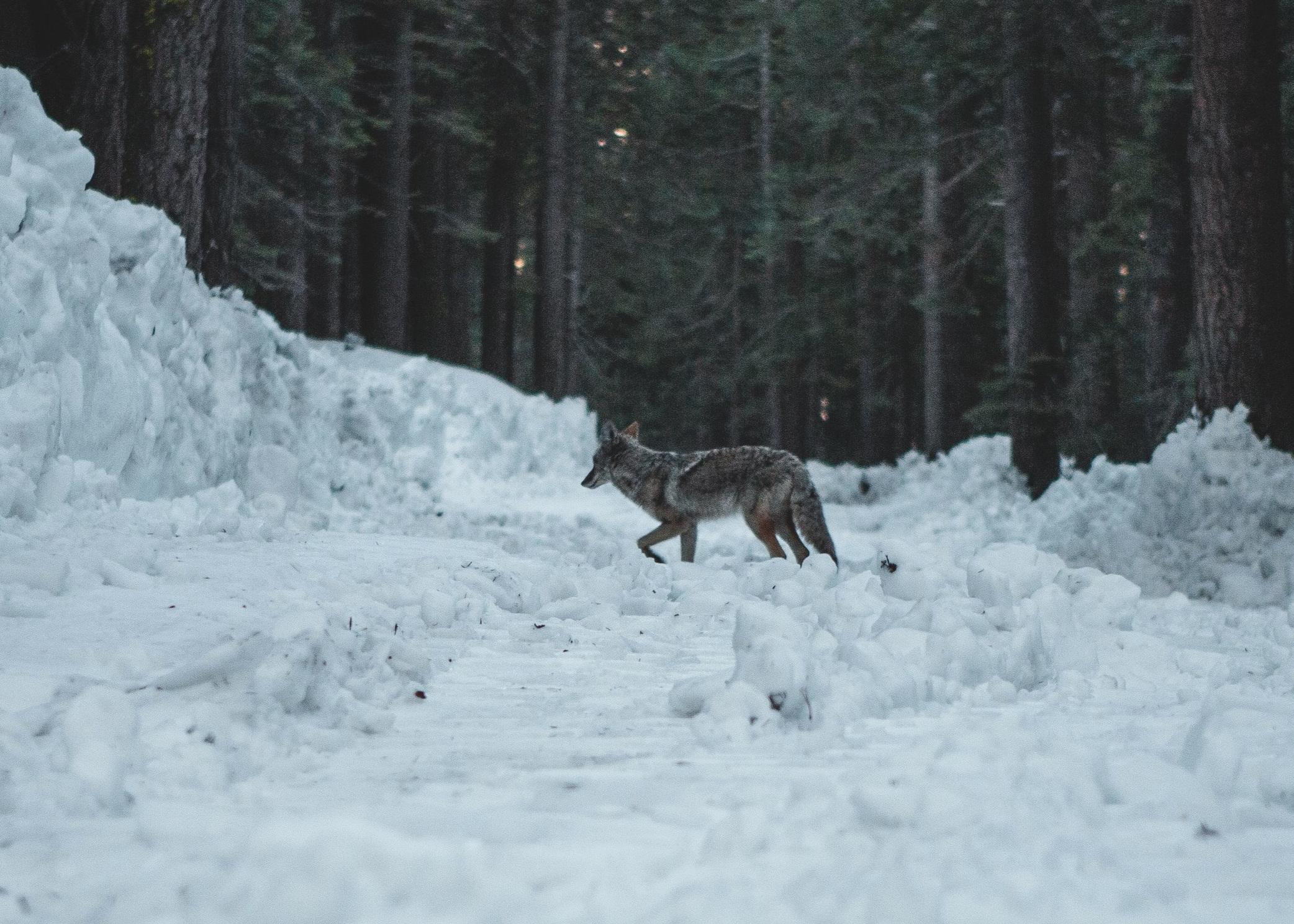 coy_snow.jpg