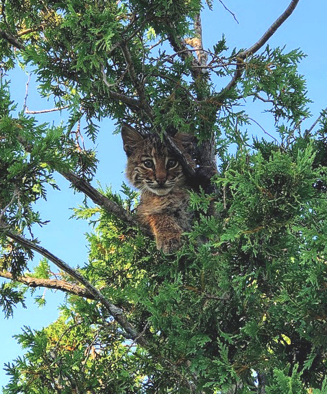 A young bobcat observes from the safety of a tree before finding its way to the rooftop of a local Burger King. (Photo   Stratham Police Facebook)
