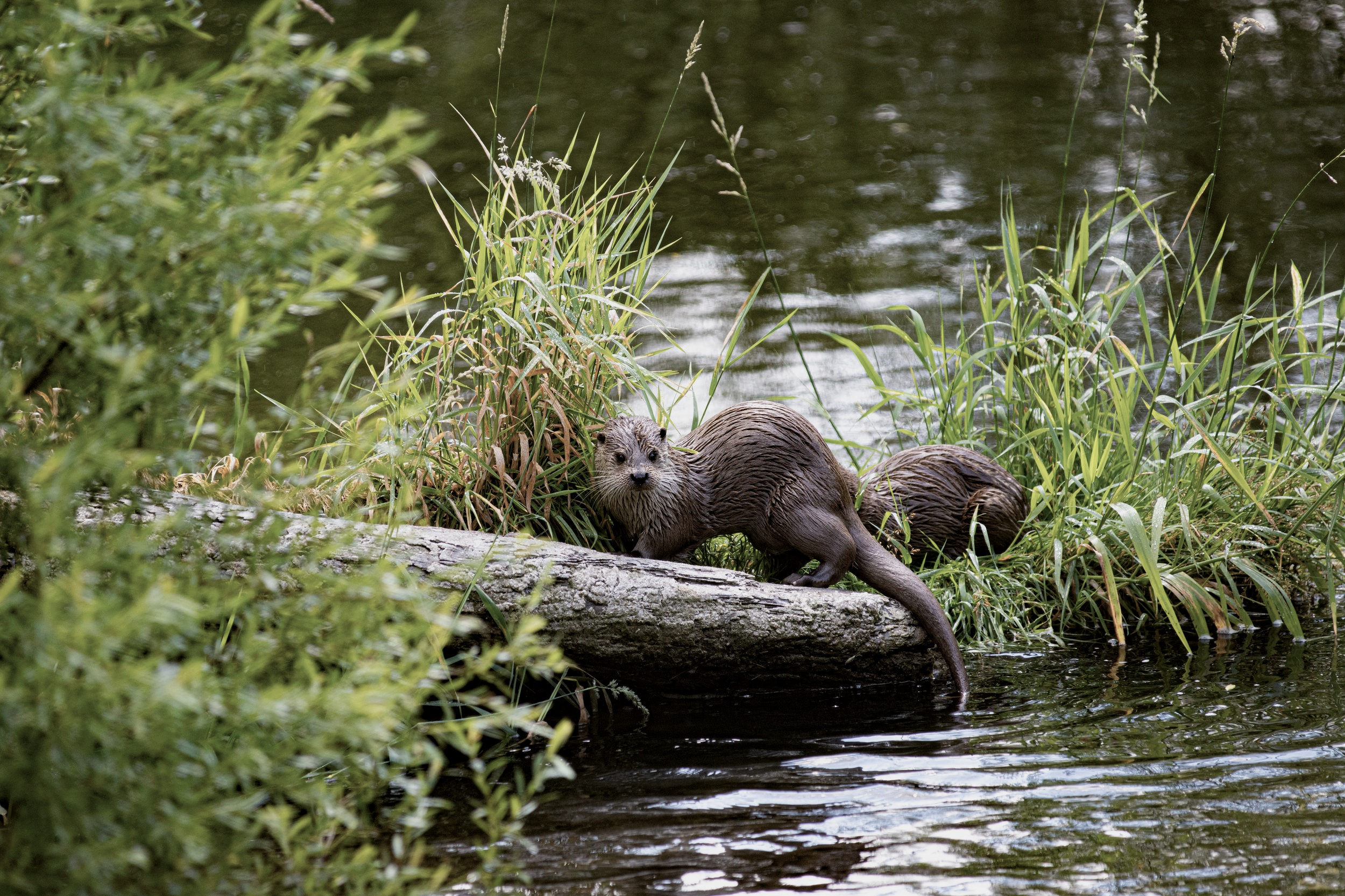 The river otter is an example of a conservation success story. With the assistance of licensed trappers and traps, the otter was reintroduced by wildlife managers to once extirpated areas of the animal's traditional home range. (Photo | Andreas Schantl)