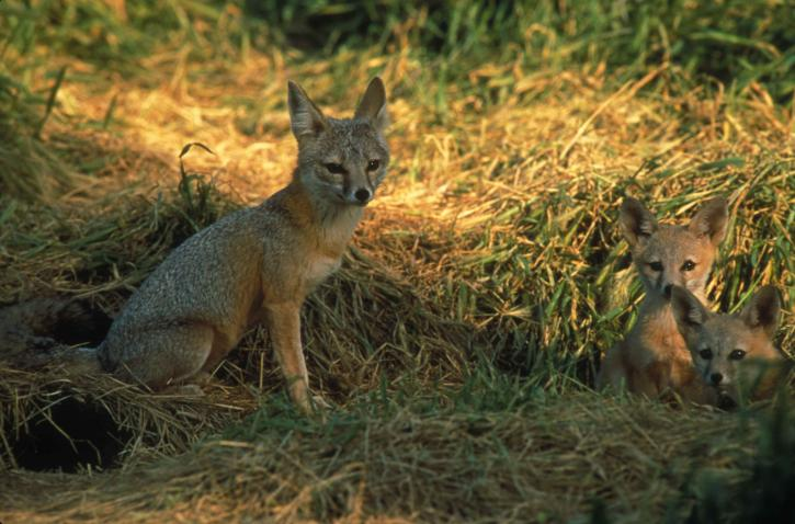Swift/Kit Foxes