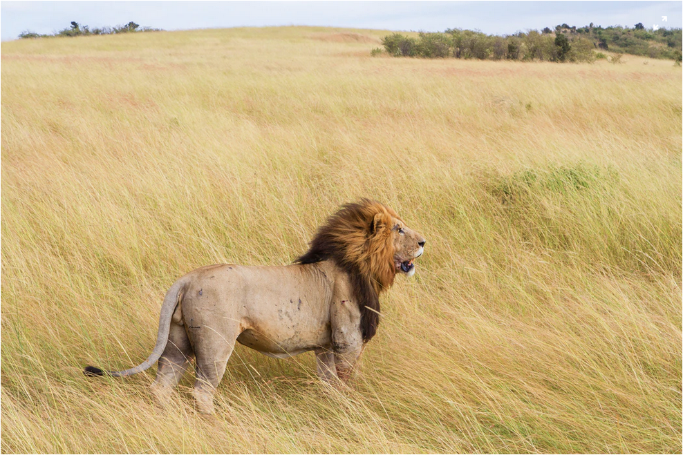 Lion hunting has seen particular debate surrounding the merits and purpose of trophy hunting in African lands. Animal rights groups continue to fight for bans on the activity, while many in the conservation community assert that regulated hunting has its place.