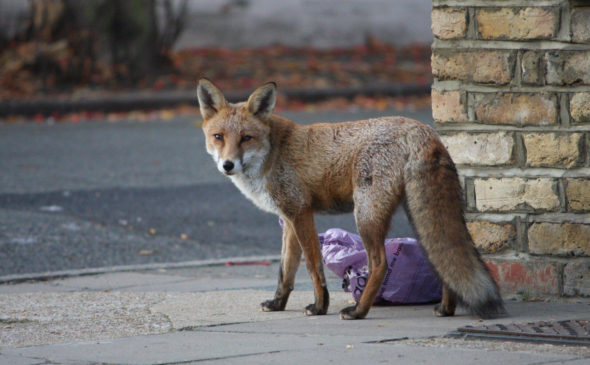 fox-in-the-street.jpg