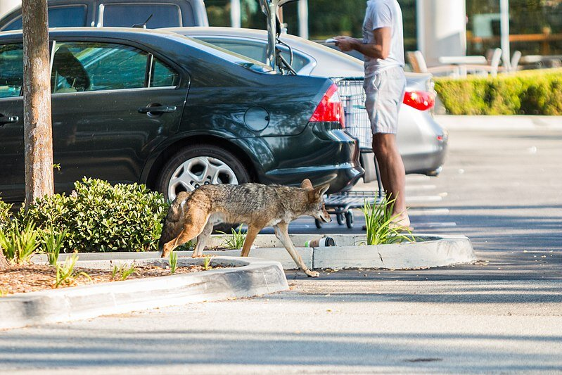 A coyote trots past shoppers in a local parking lot unphased by the presence of humans.