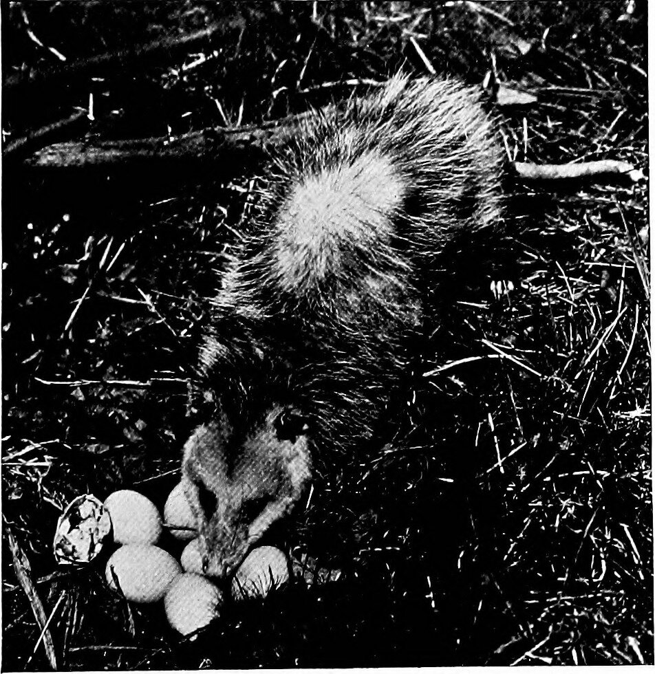 "An image from page 94 of ""Animal snapshots and how made"" (1905), depicts an Opossum preying on a nest of eggs."