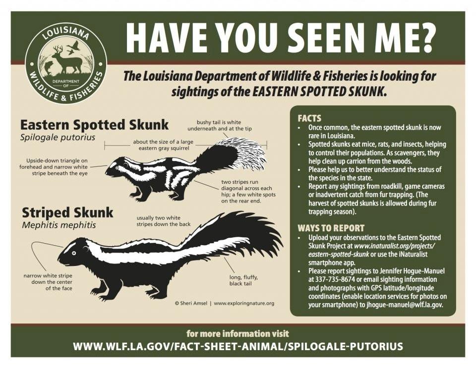 Eastern_spotted_skunk-LDFW.jpg