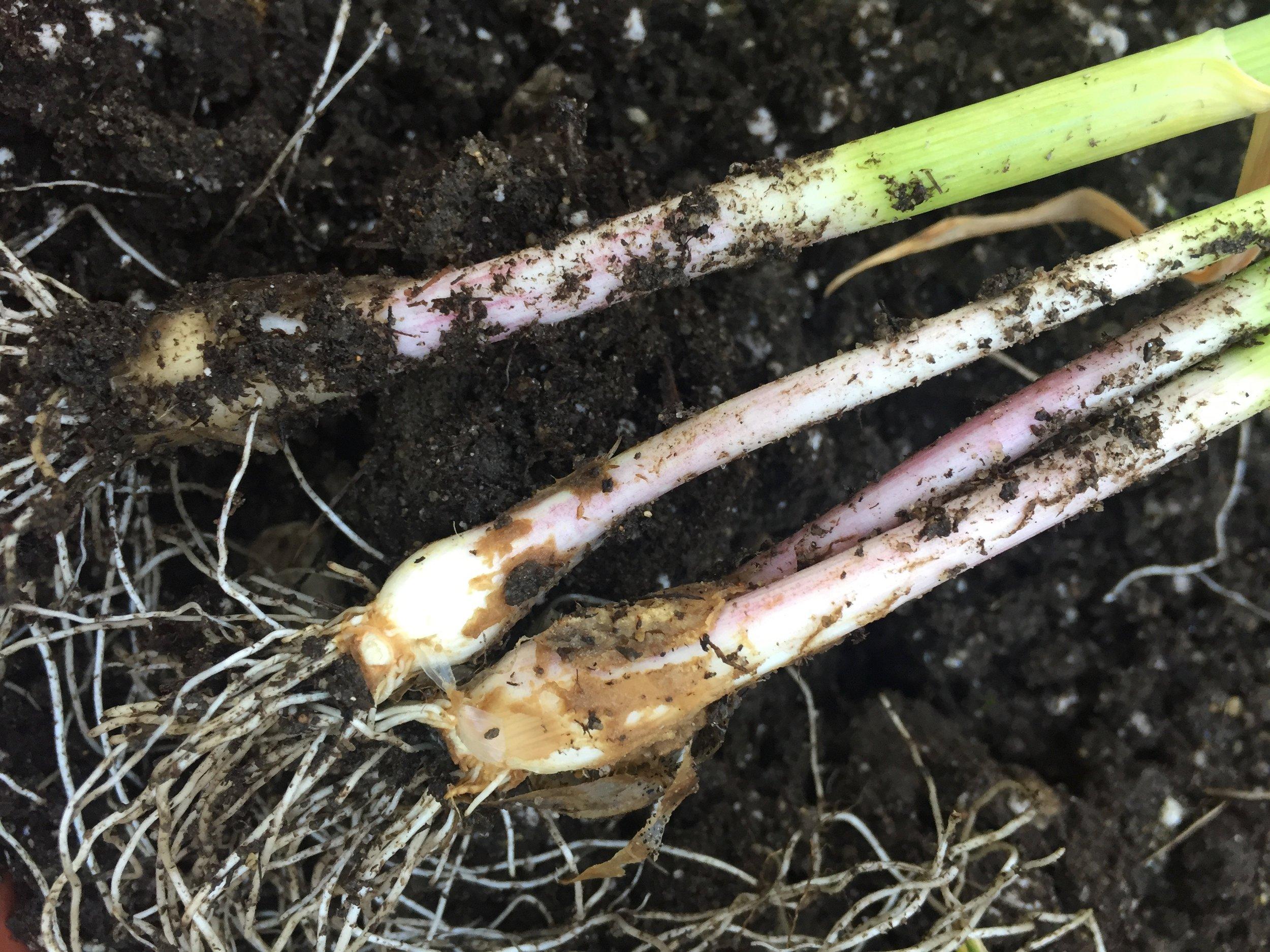 Garlic - pulled