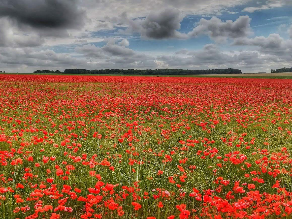 Wild Poppies! BREATHTAKING!!!