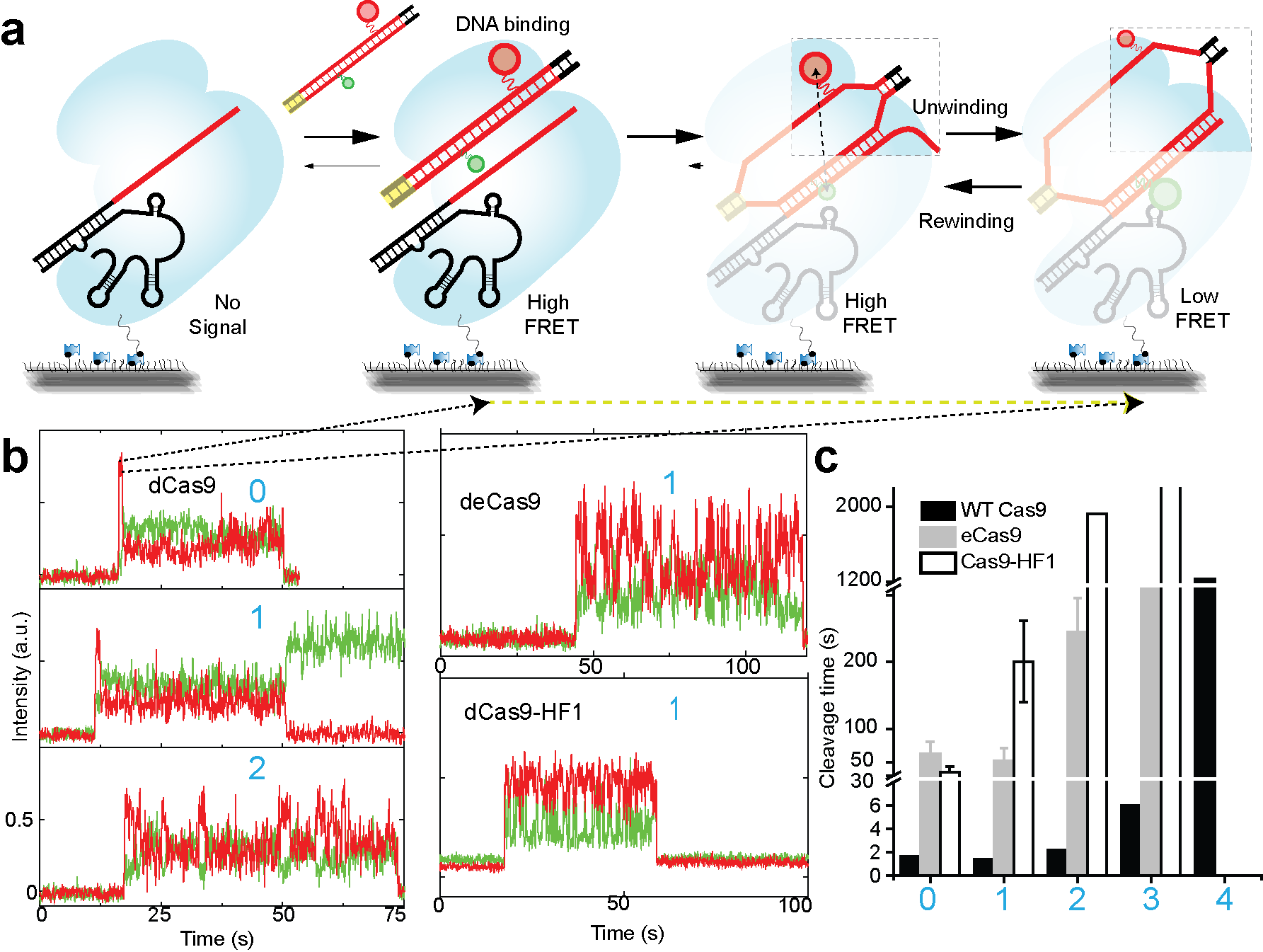 Figure 4. DNA unwinding guides cleavage action by Cas9-RNA.  Cas9-RNA requires   ≥ 16 PAM-proximal matching bp for cleavage but requires only ≥ 9 for ultra-stable binding (Fig. 1-2). This observation indicate that Cas9-RNA remains irreversibly bound to many DNA without ever cleaving, hence there must be an internal intra-molecular determinant of cleavage in Cas9-RNA-DNA. We reasoned that it could be the Cas9-RNA induced DNA unwinding and developed  (a)  a single-molecule FRET assay for real-time investigation of Cas9-RNA induced DNA unwinding. The FRET pair were placed in the two opposite strands of the dsDNA target, the separation between which increase during unwinding leading to a lower FRET efficiency. FRET efficiency reports on the different extent of DNA unwinding in real-time.  (b)  DNA unwinding in real-time with mismatches and different Cas9 variants shows how both PAM-distal mismatches and mutations of engineered Cas9s (deCas9 & dCas9-HF1) can destablize a fully unwound DNA state.  (c)  This destabilization correlated with reduced rate of cleavage underlying the importance of DNA unwinding for cleavage action of Cas9. Figures adapted from :  Nat Struct Mol Biol. 2018 Apr; 25(4): 347–354.  PMCID: PMC6195204