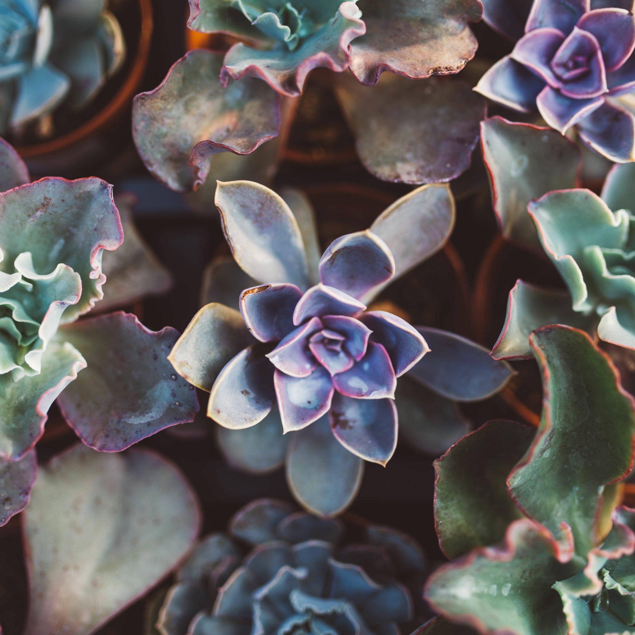succulents 2 copy.jpg