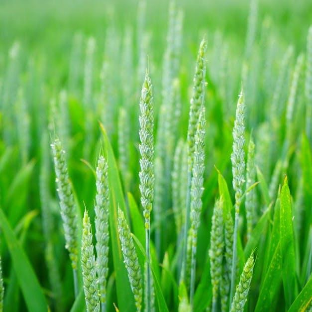 green wheat copy.jpeg