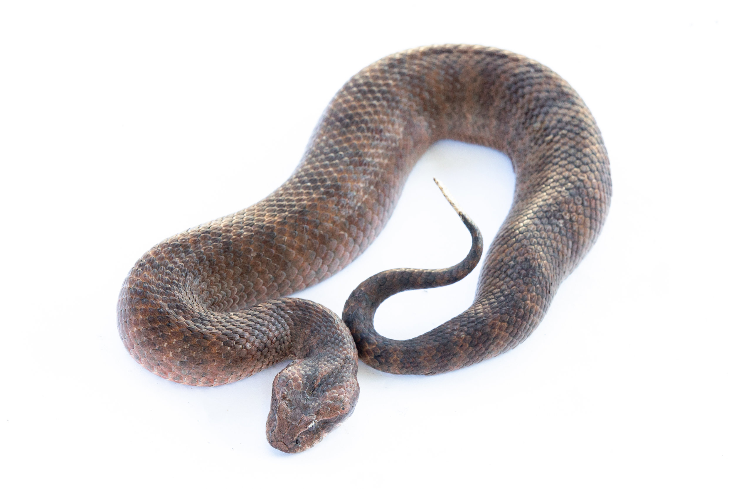 Death Adder High Res (2 of 4).jpg