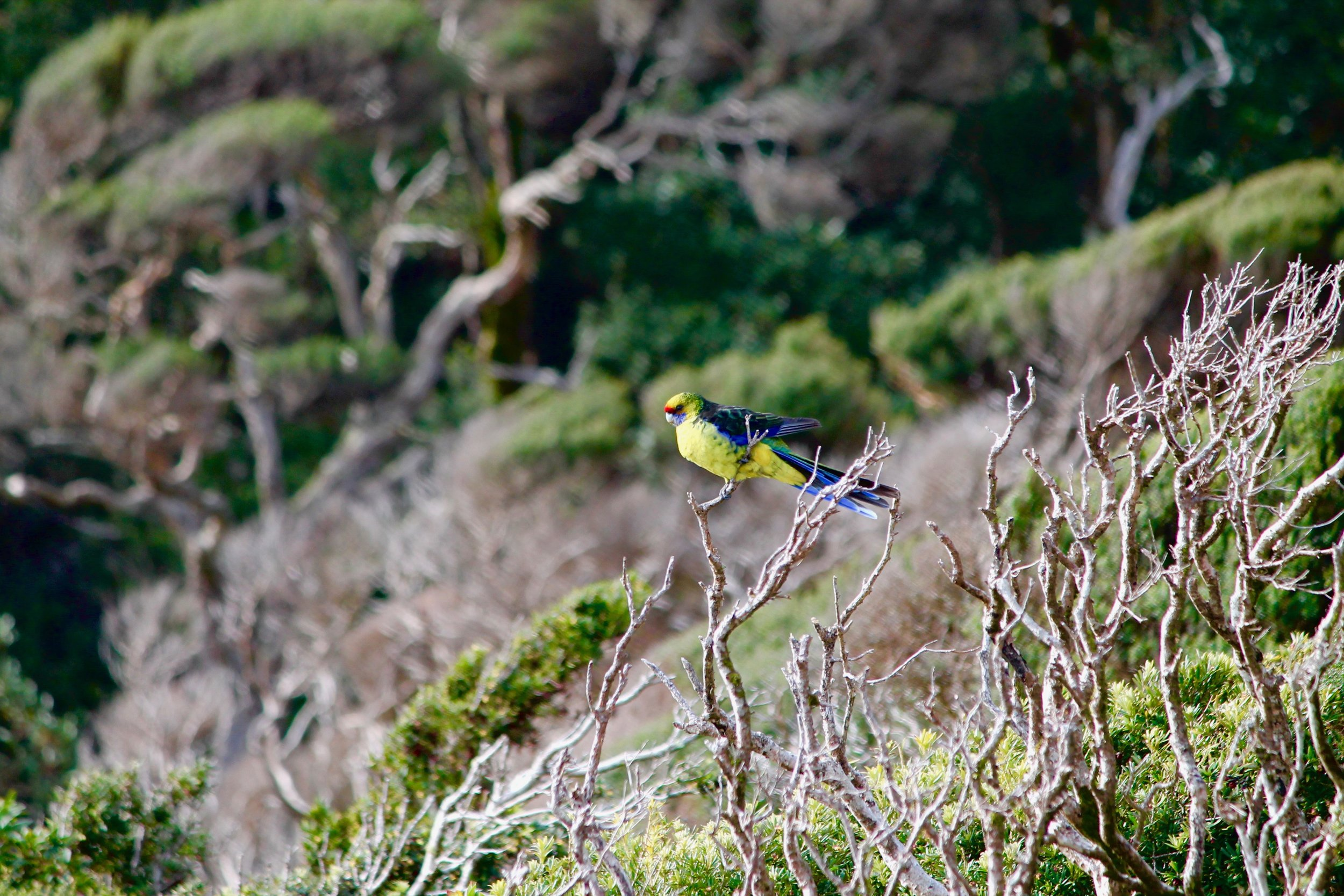 Green Rosella resting on 100-year-old tea tree.