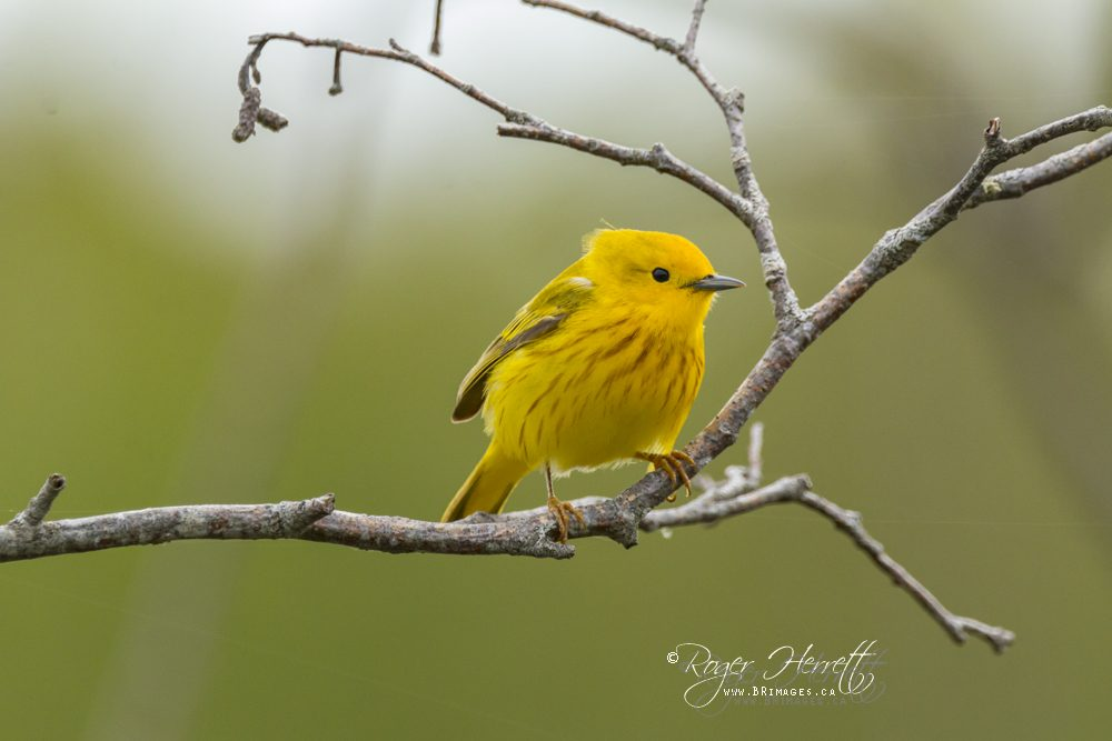 Yellow Warbler –  Canon 70D, Sigma 150-600mm Contemporary @ 600mm, 1/1250 sec, f/8 and ISO 1250
