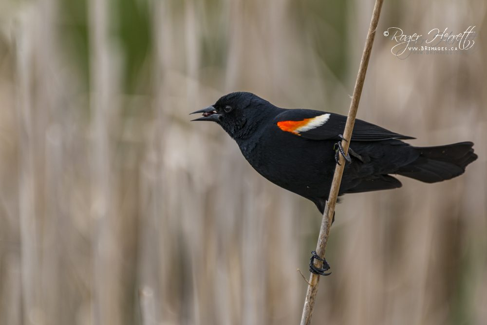 Red-winged Blackbird –  Canon 70D, Sigma 150-600mm Contemporary @ 600mm, 1/800 sec, f/6.3 and ISO 320