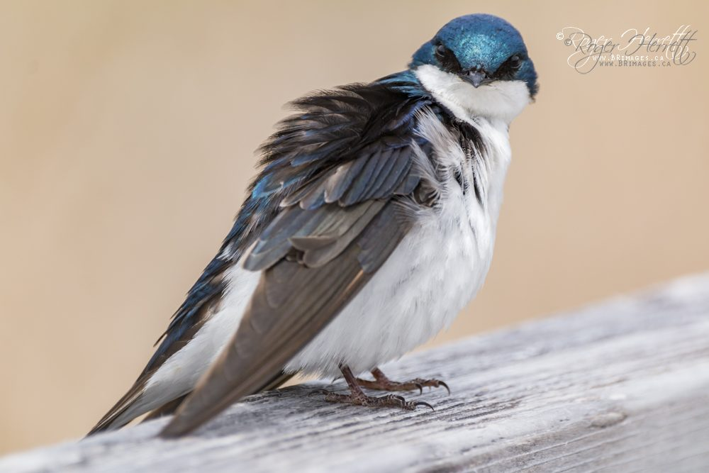 Tree Swallow –  Canon 70D, Sigma 150-600mm Contemporary @ 600mm, 1/800 sec, f/6.3 and ISO 400