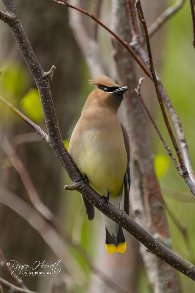 Cedar Waxwing –  Canon 70D, Sigma 150-600mm Contemporary @ 600mm, 1/800 sec, f/6.3 and ISO 500