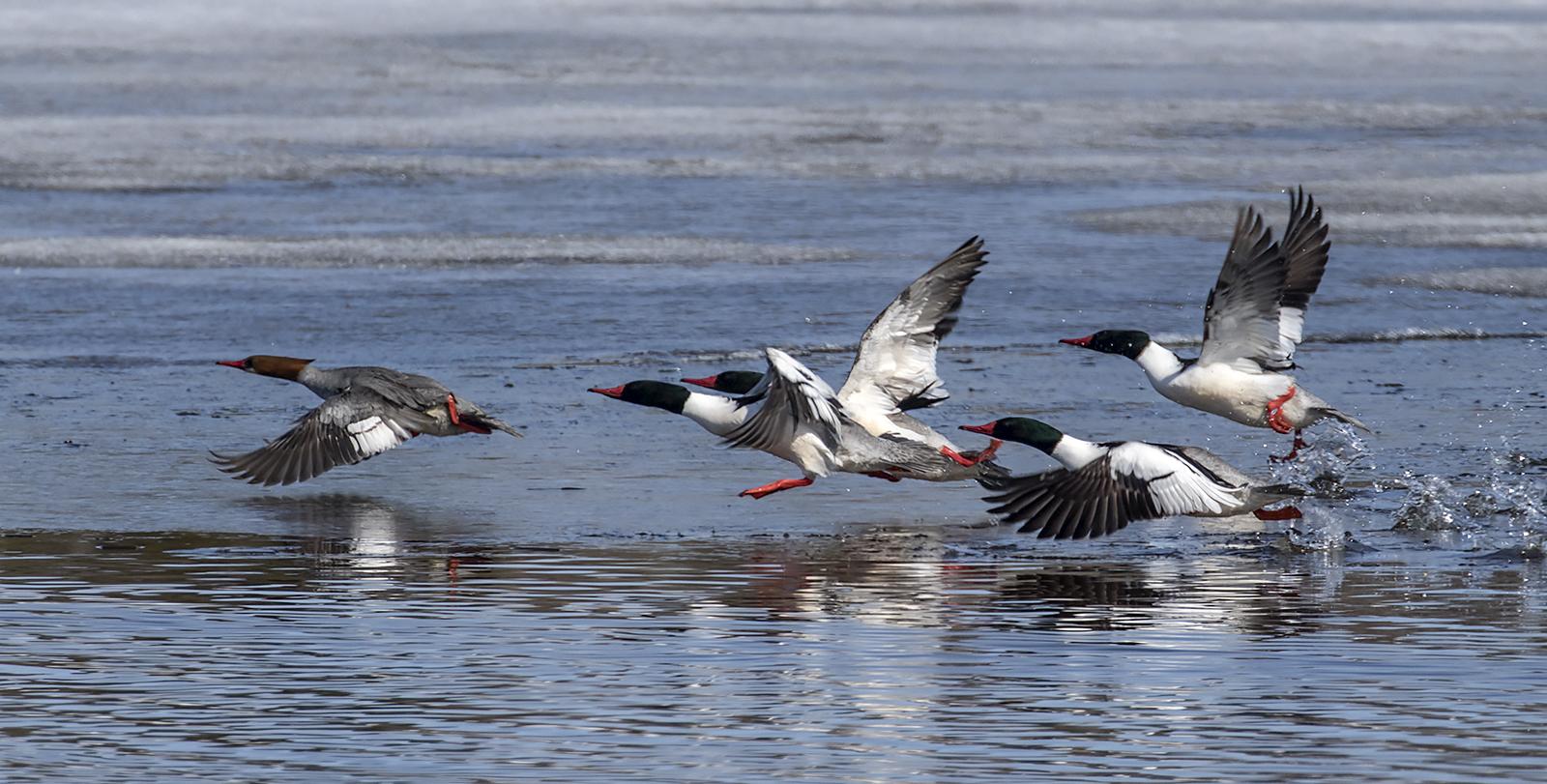 common-mergansers(2)-BRimages.ca