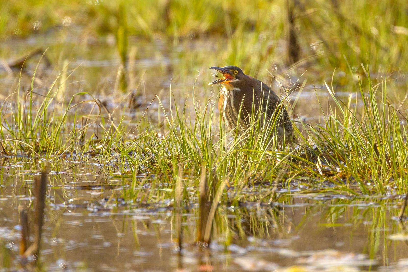 Green-Heron-Moncton-New-Brunswick-BRimages.ca