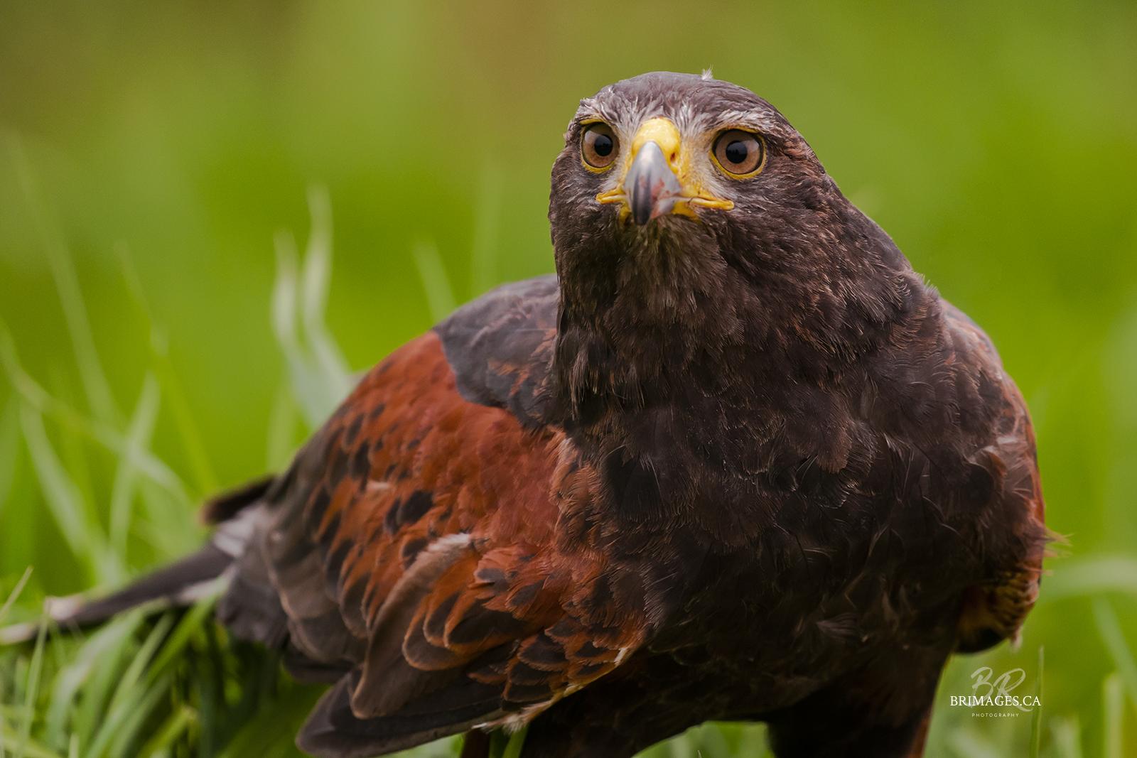harris-hawk-falconry-PEI-Canada-BRimages.ca