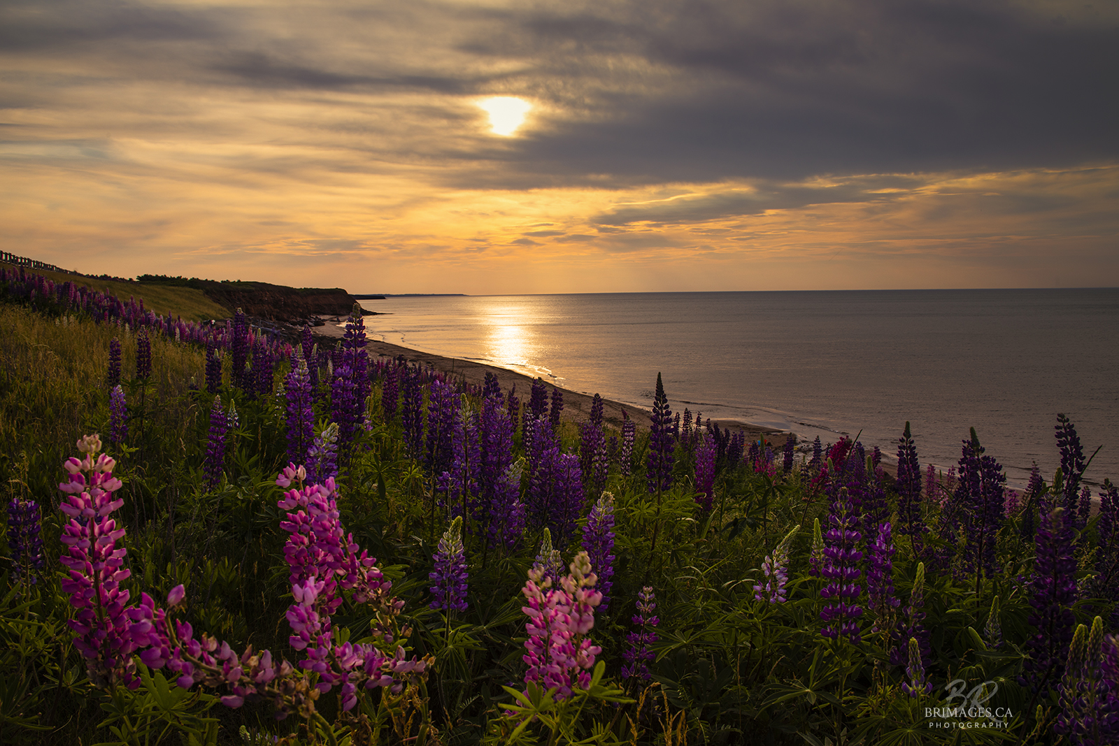 Sunset_PEI_lupins_BRimages.ca