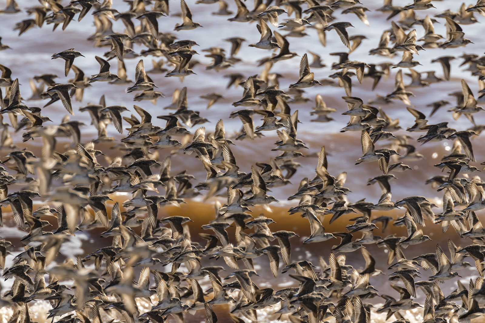 Semipalmated_Sandpipers-02-BRimages.ca