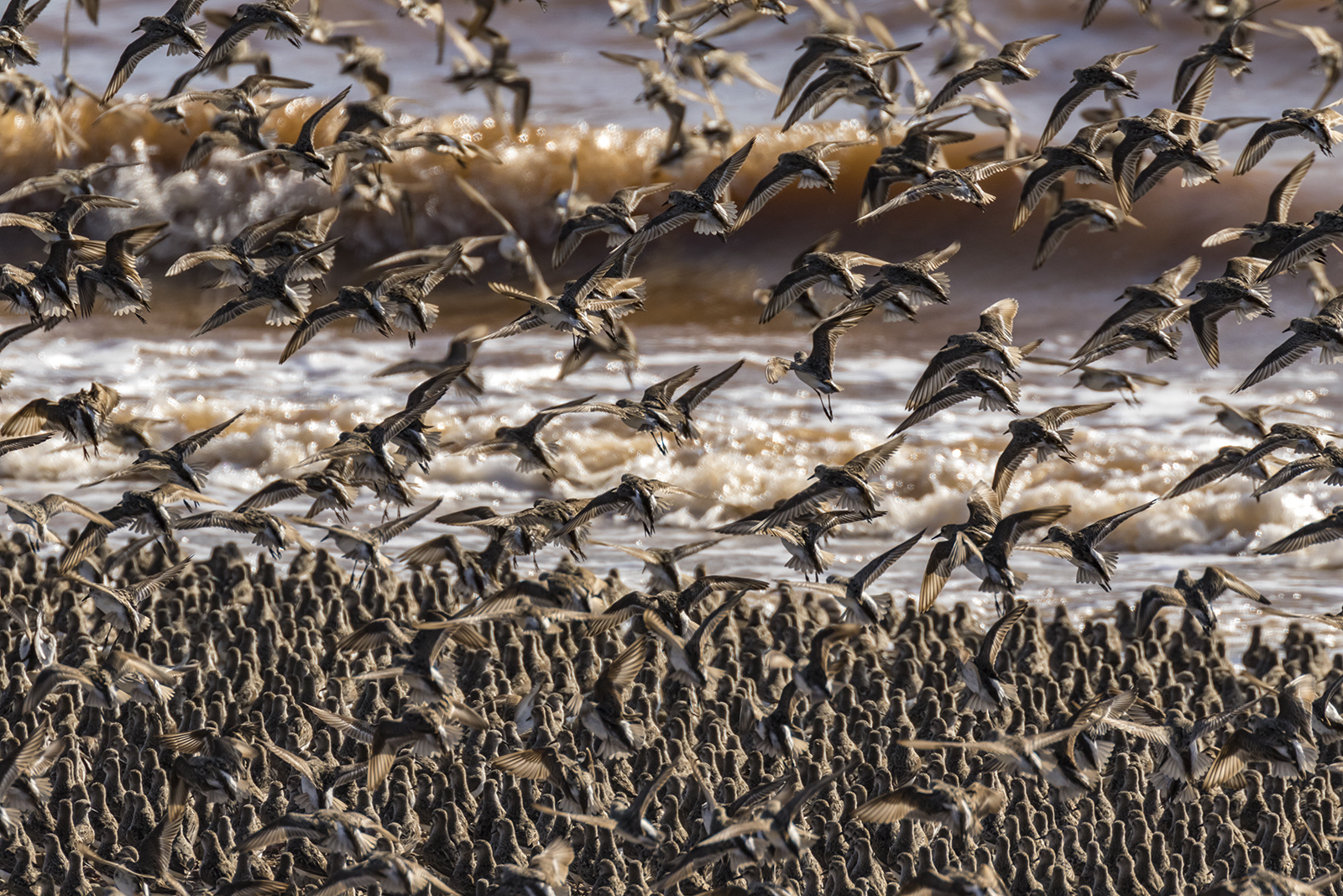 Semipalmated_Sandpipers-03-BRimages.ca
