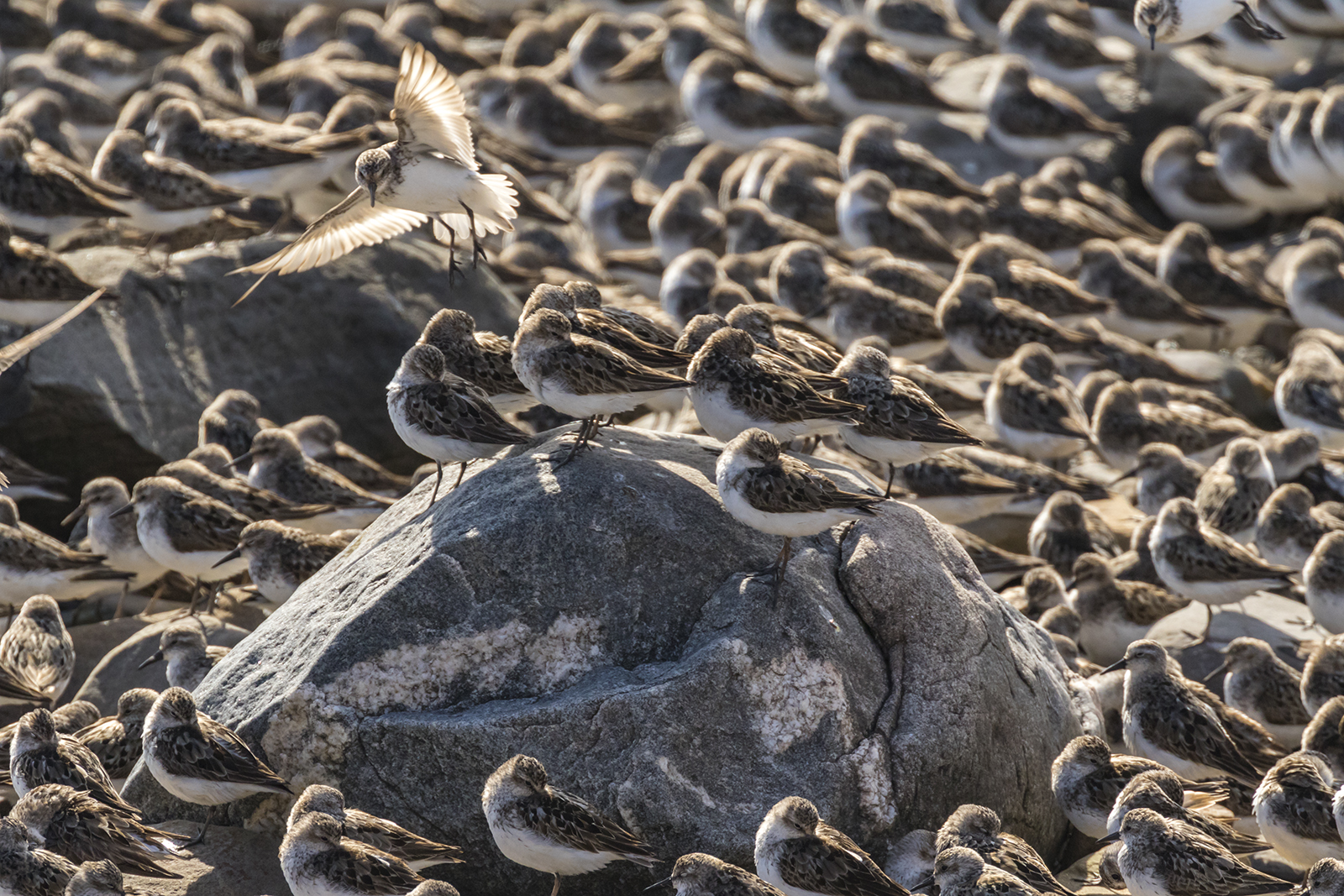 Semipalmated_Sandpipers-04-BRimages.ca