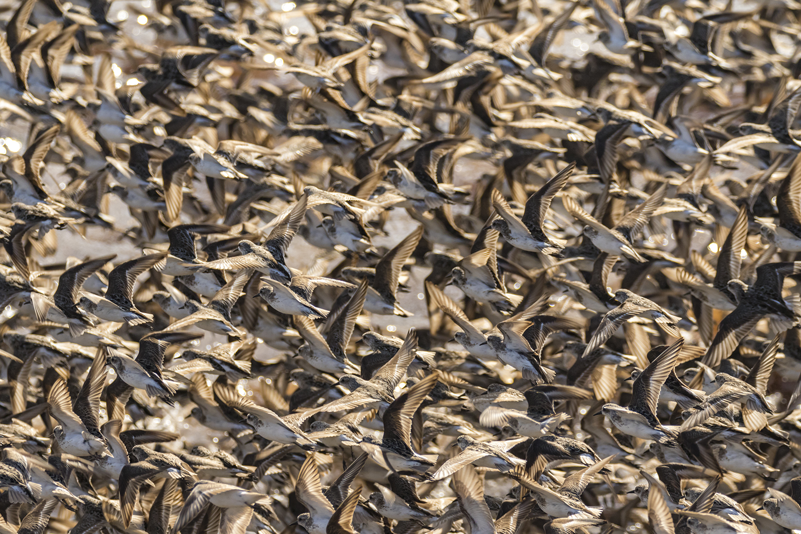 Semipalmated_Sandpipers-06-BRimages.ca