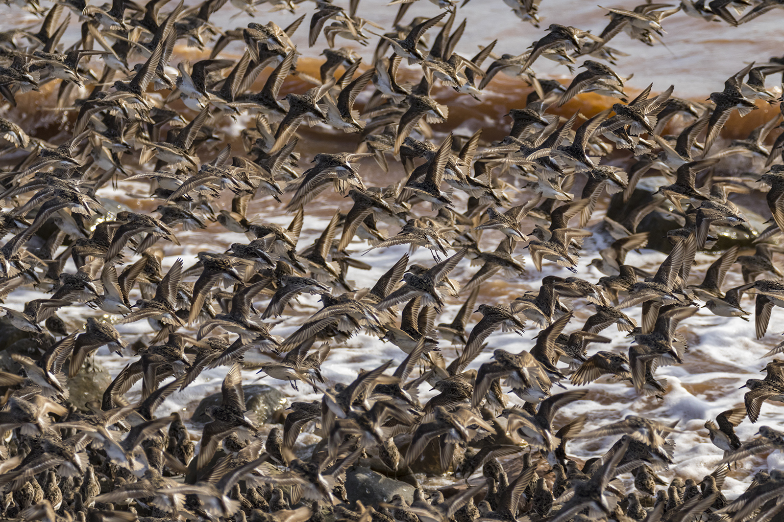 Semipalmated_Sandpipers-07-BRimages.ca