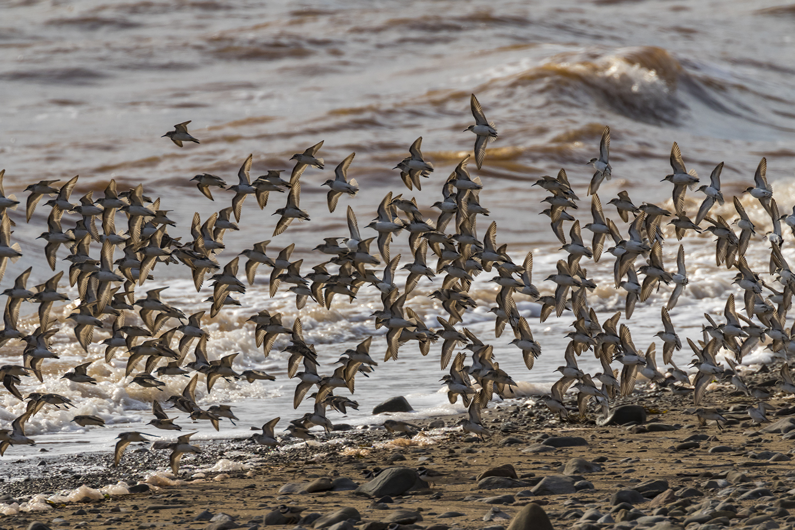 Semipalmated_Sandpipers-08-BRimages.ca