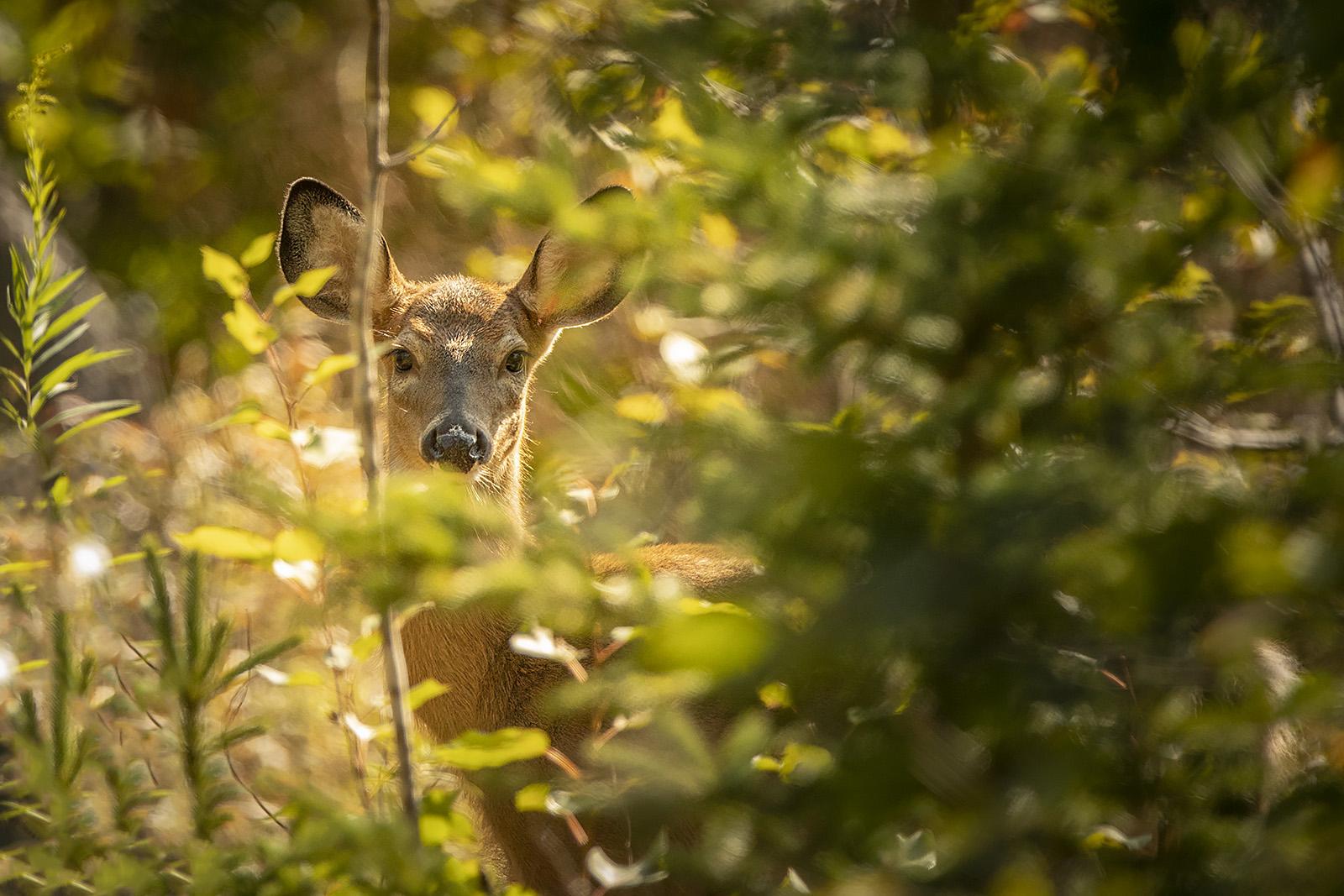 doe-deer-peaking-through-bushes-new-brunswick-canada-brimages.ca