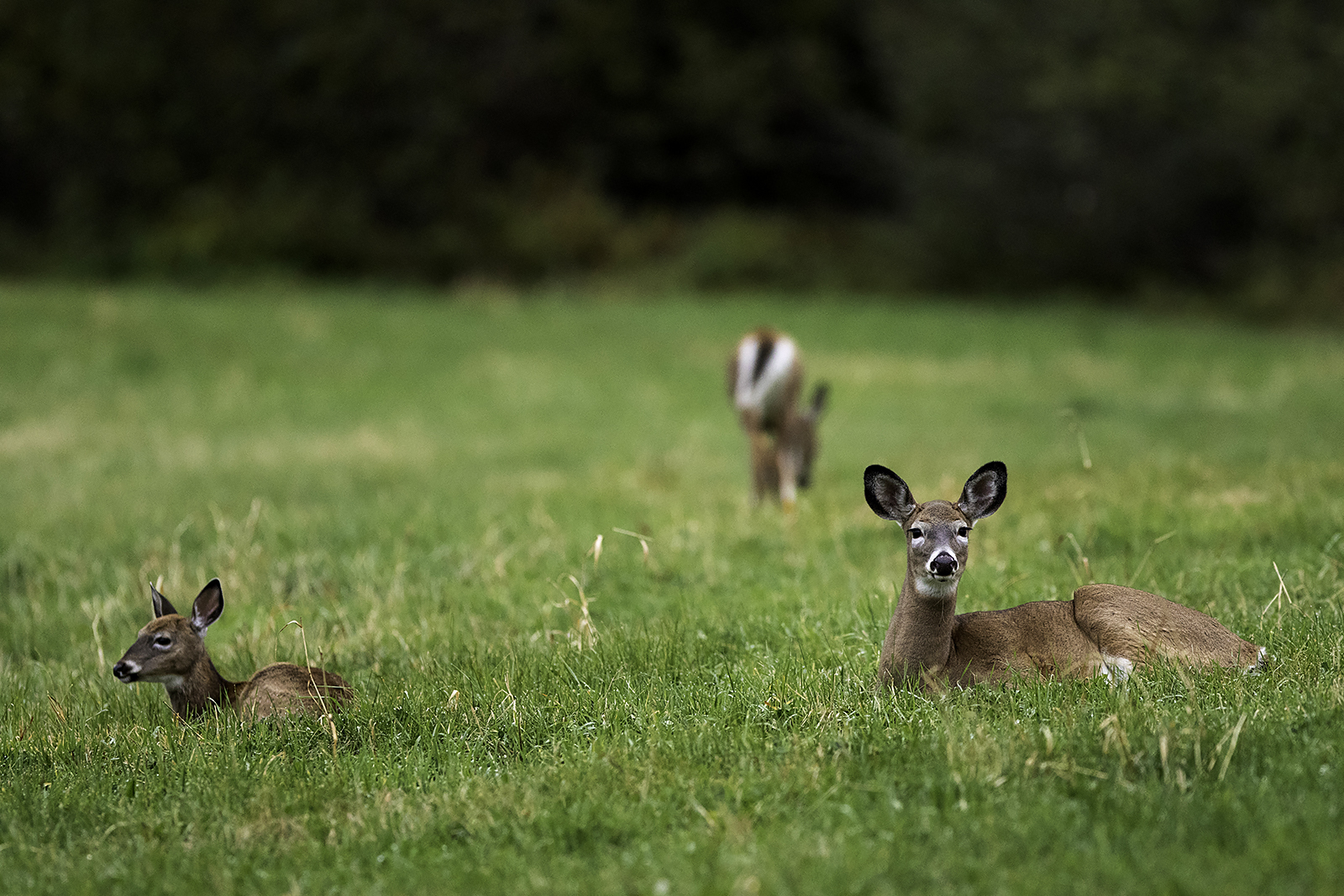 white-tailed-deer-and-fawn-new-brunswick-canada-BRimages.ca