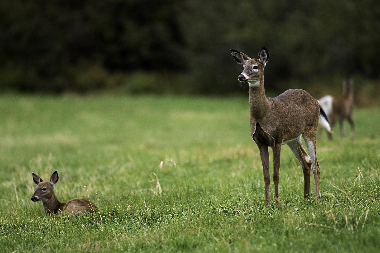 white-tailed-deer-and-fawn-new-brunswick-canada-3-BRimages.ca