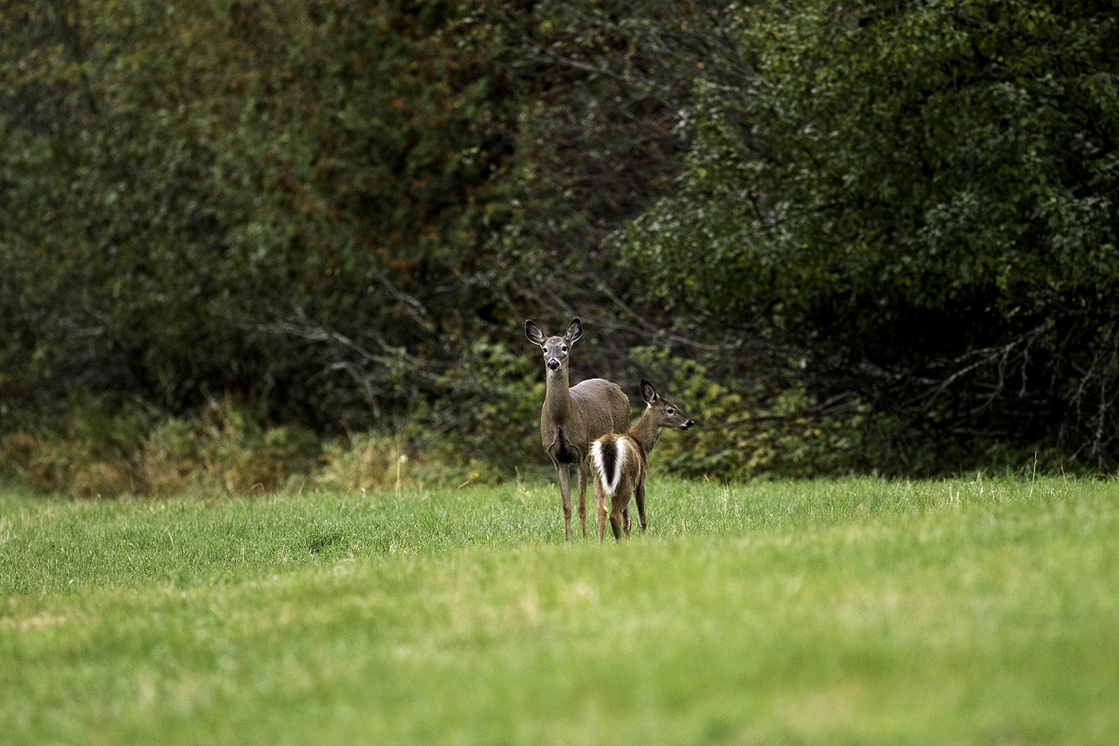 white-tailed-deer-and-fawn-new-brunswick-canada-5-BRimages.ca