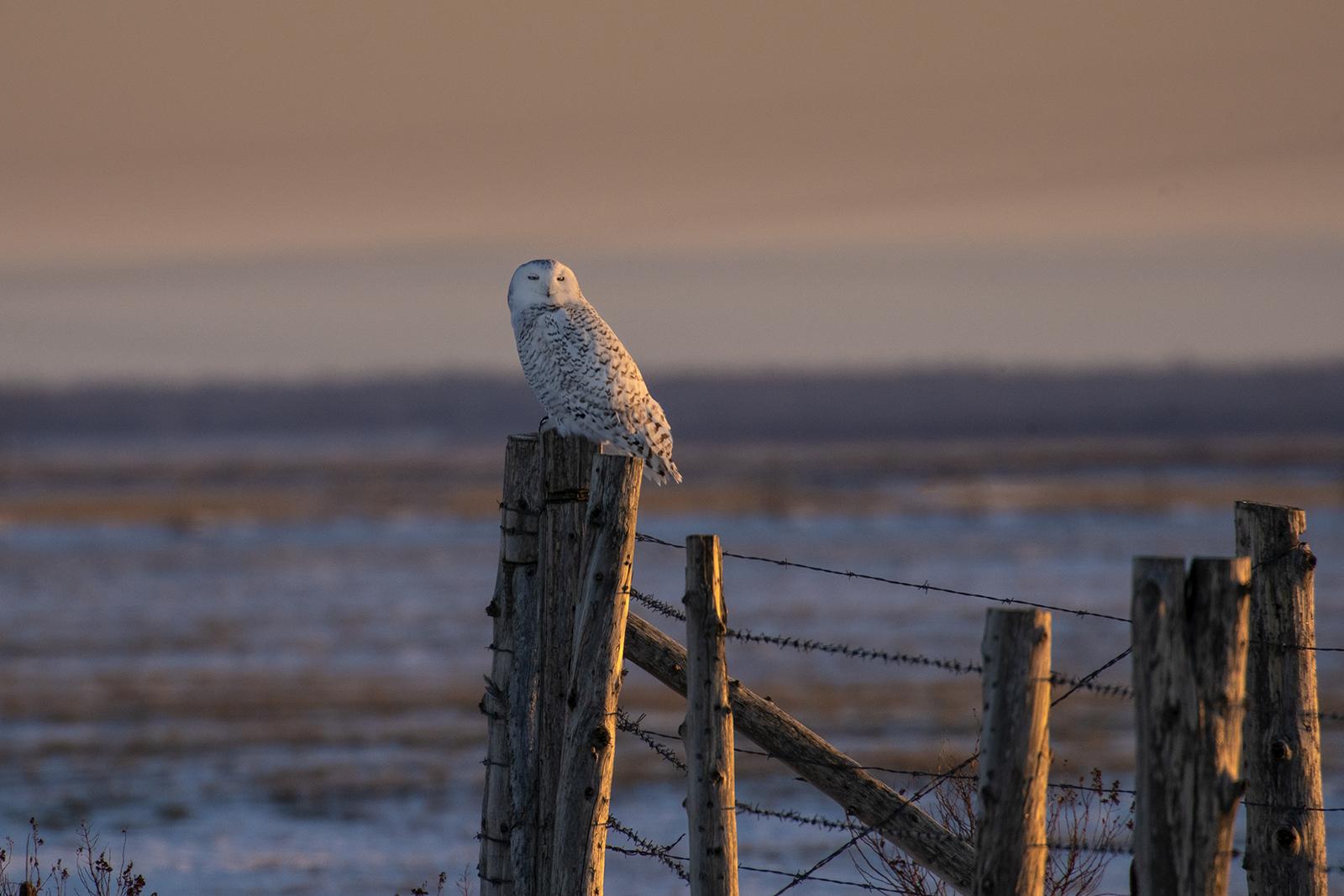 sunrise-snowy-owl-winter-new-brunswick-2-BRimages.ca