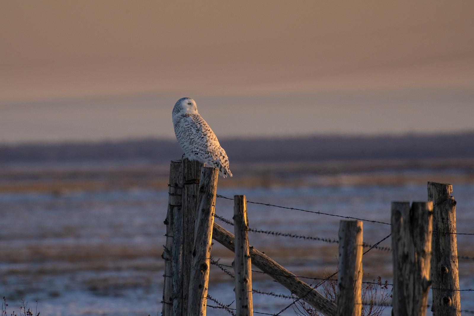 sunrise-snowy-owl-winter-new-brunswick-3-BRimages.ca