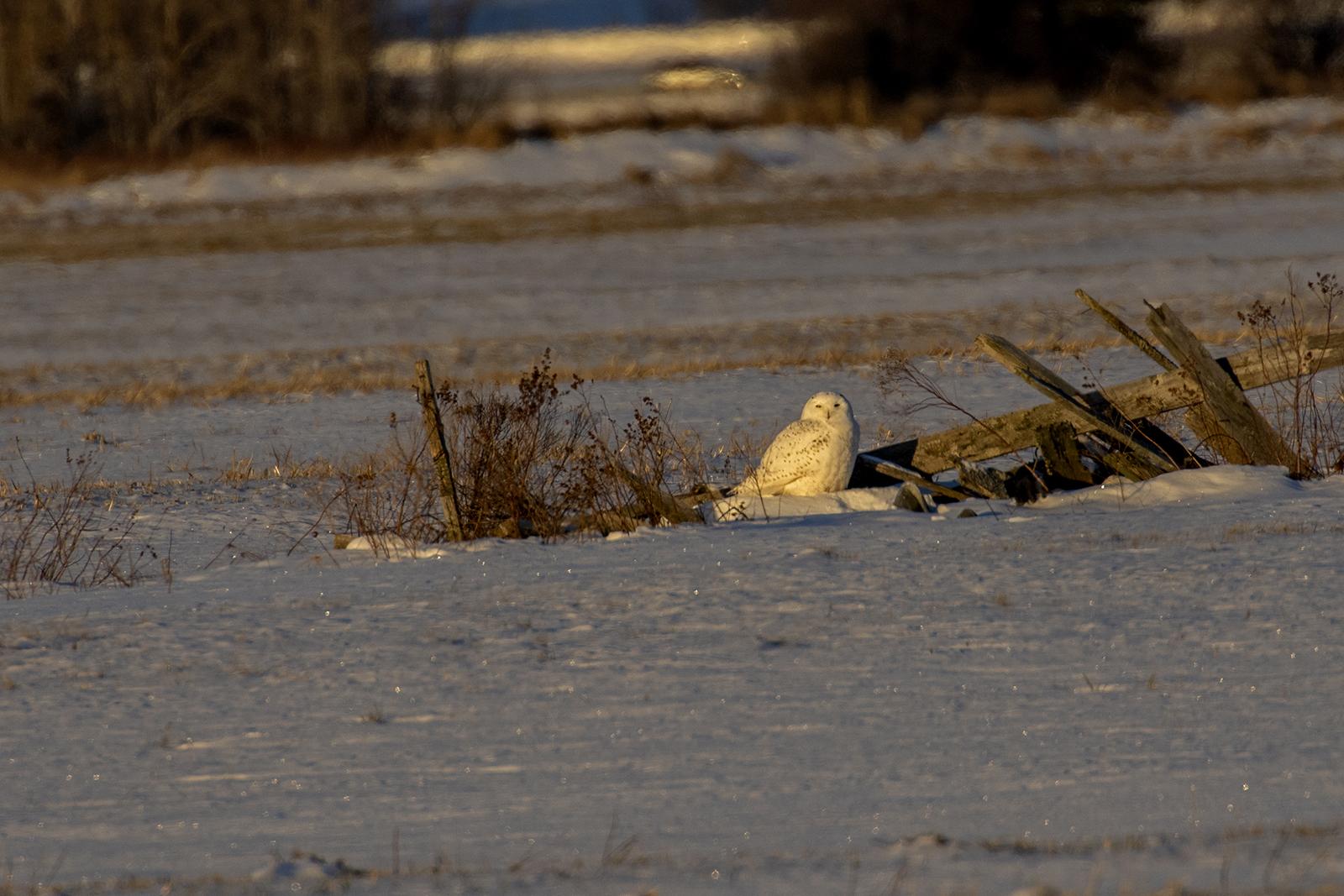 sunrise-snowy-owl-winter-new-brunswick-4-BRimages.ca