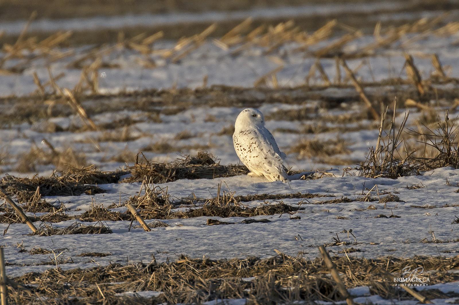snowy-owl-ground-new-brunswick-3-BRimages.ca