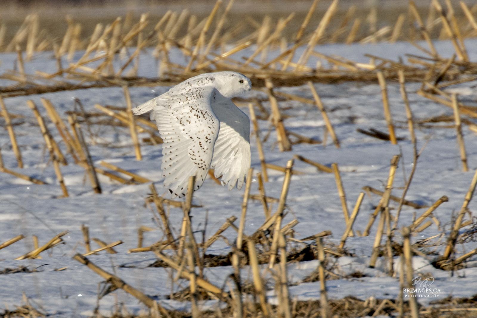 snowy-owl-in-flight-new-brunswick-BRimages.ca